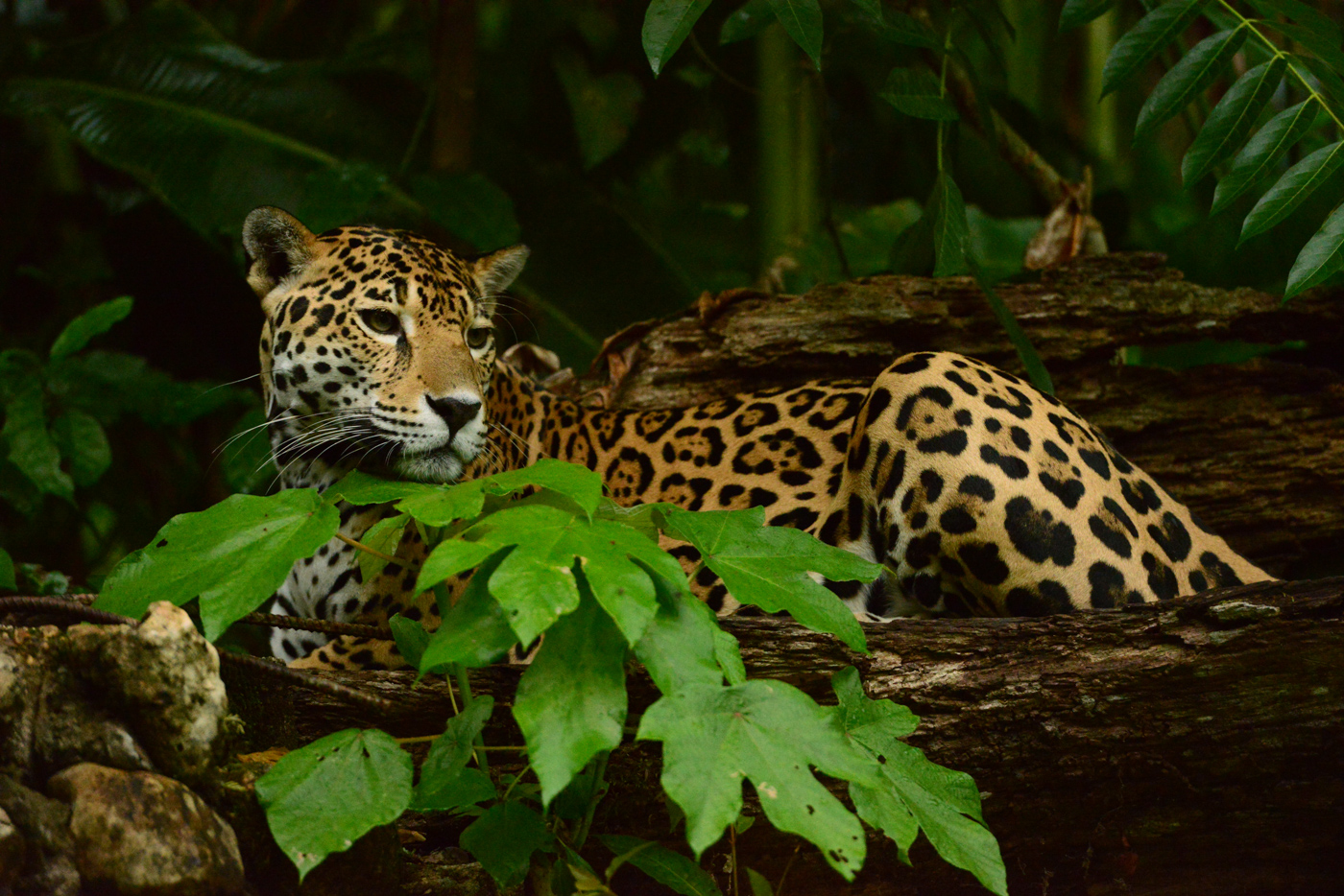 BEL_Jaguar_BelizeTouristBoard_Freewithcredit (5)
