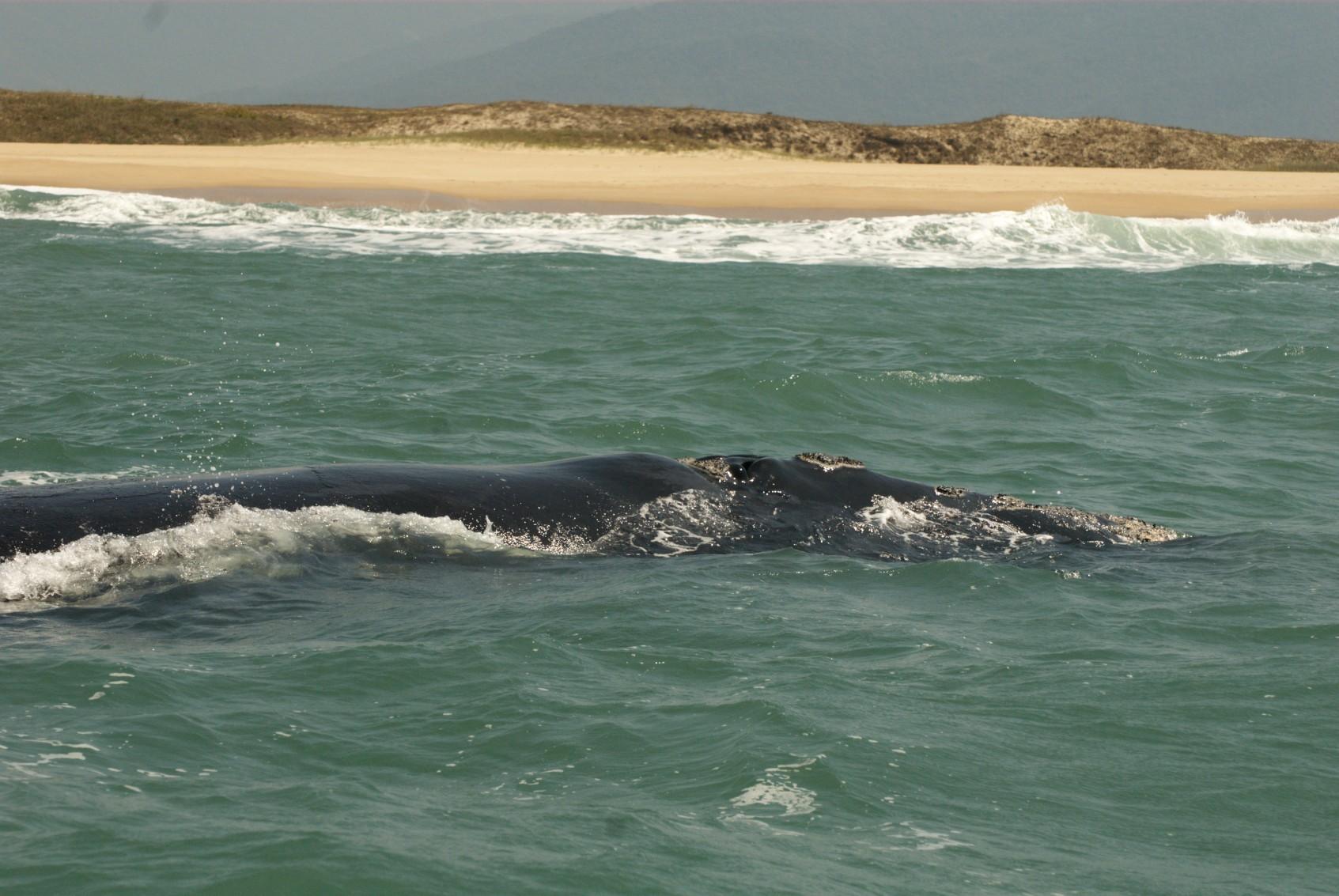 bra07-whalewatch-free-santur
