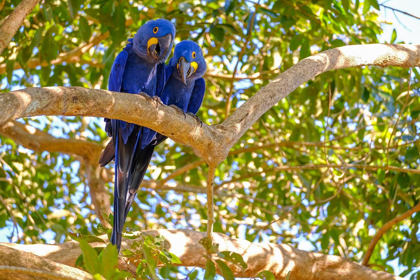 BRA_Pantanal_HyacinthMacaw_iStock-1129116558