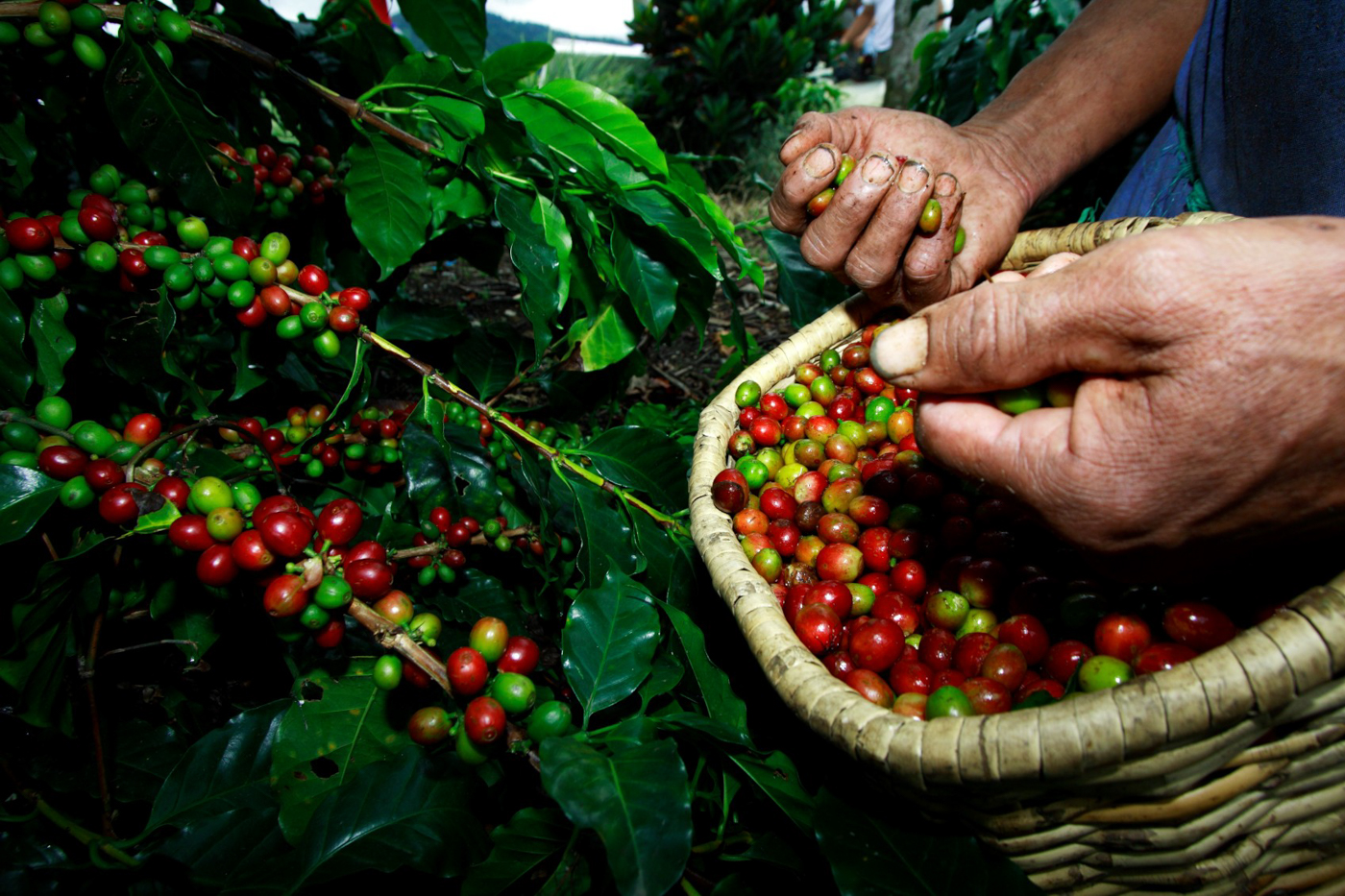 col10-coffee-production-proexport-free