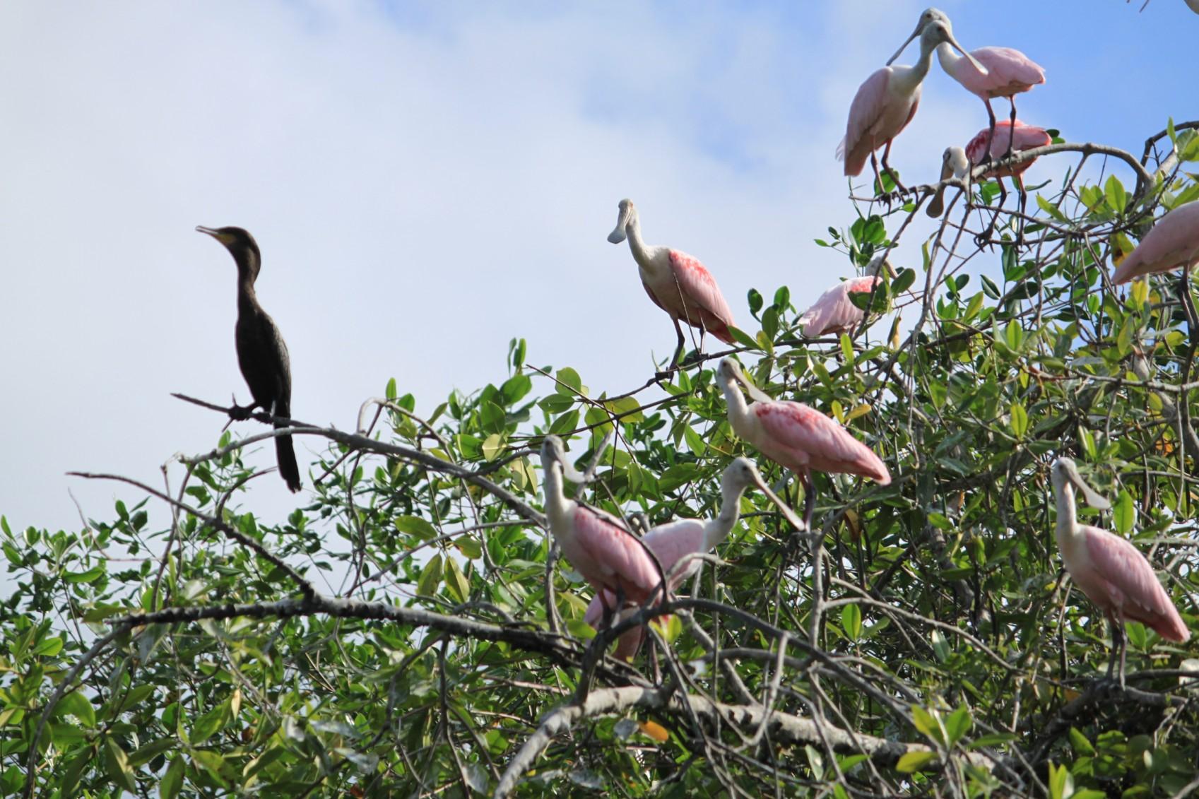 ecu18-explore-the-mangroves-tropic-free