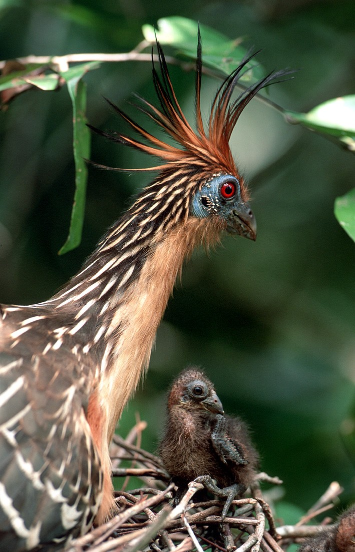 guy03-hoatzin-and-chick-wilderness-explorers-free
