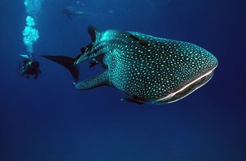 mex03-whaleshark