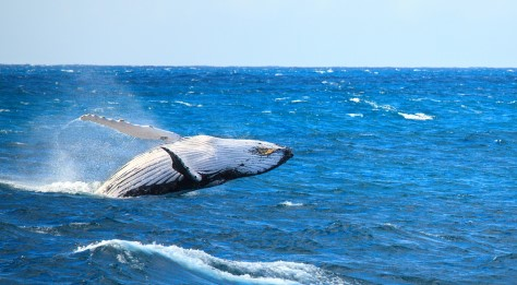 PAN_humpbackWhaleCrop_shutterstock218396926_freewithcredit