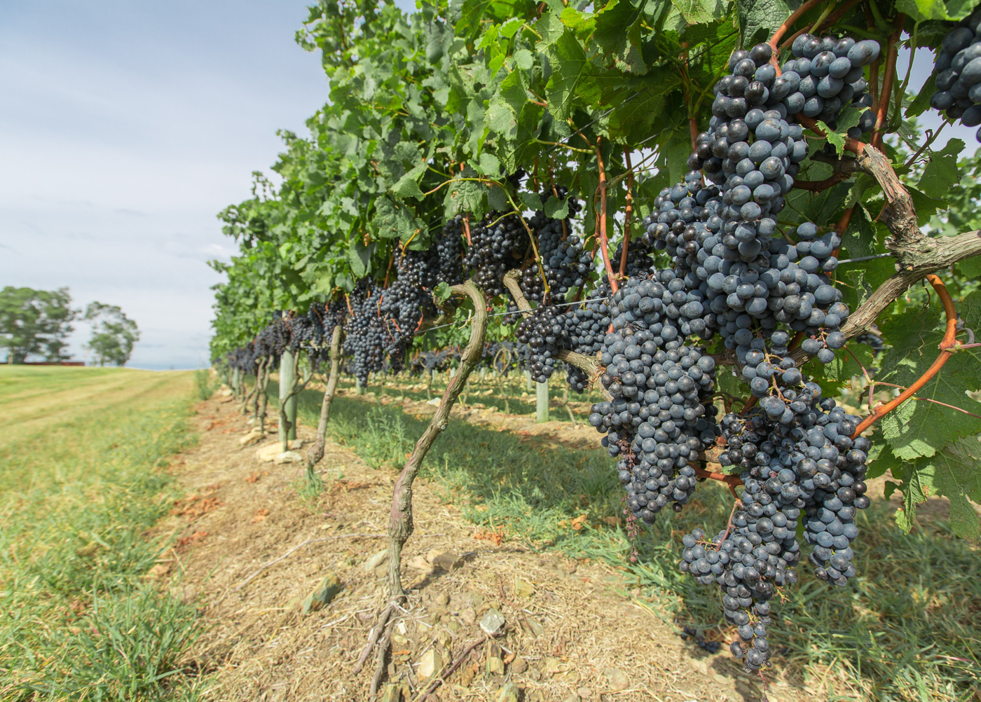 URU_Vineyard_Grapes_shutterstock_129423800_Free