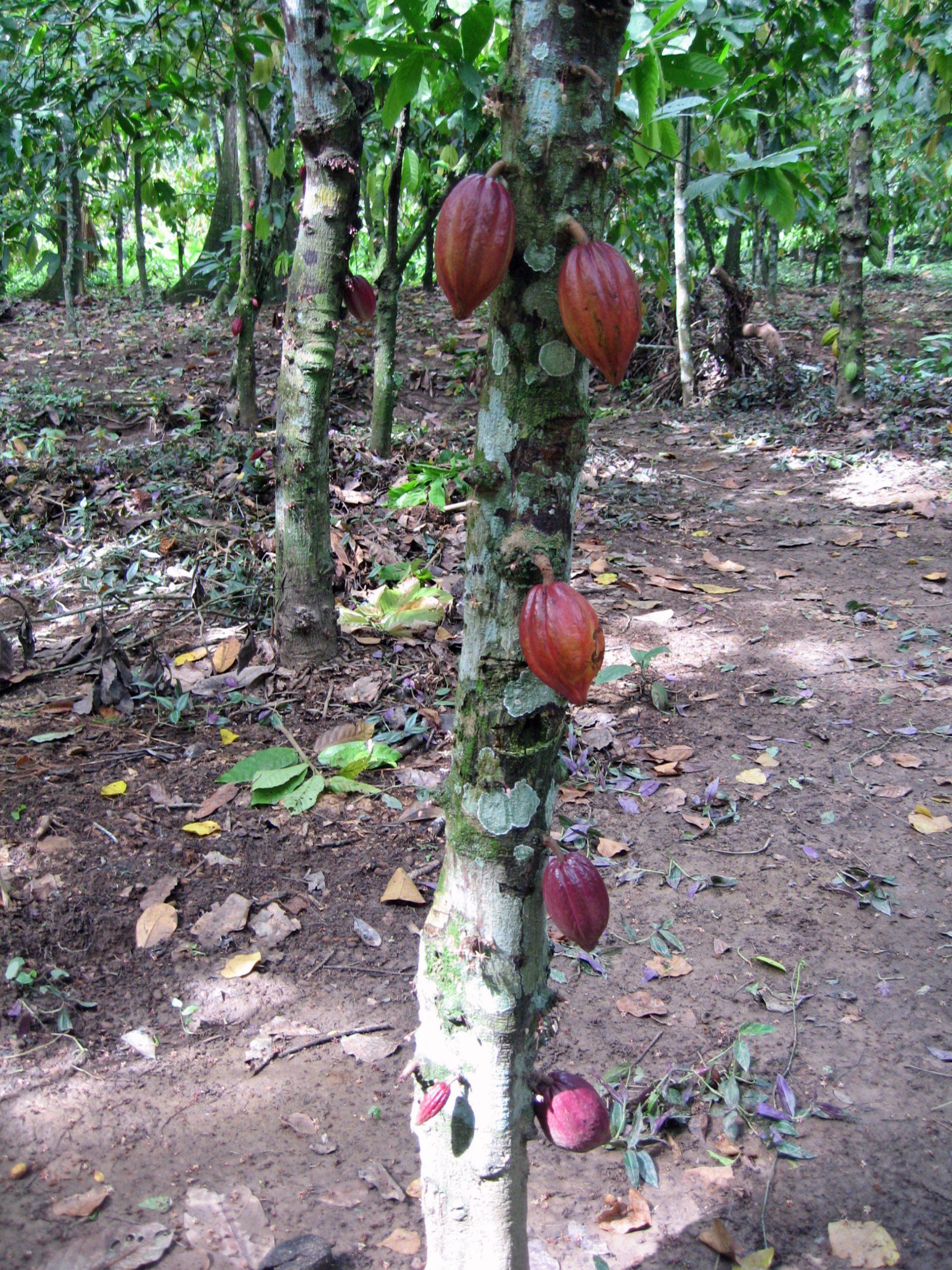 Cocoa plantation, Bukare, Sucre, Venezuela, Jun 2010, CJ