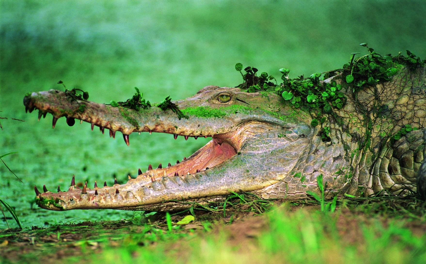ven04-caiman-del-orinoco-free-condor-verde